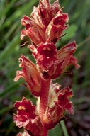 Orobanche gracilis