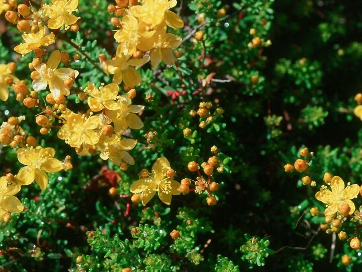 Hypericum empetrifolium