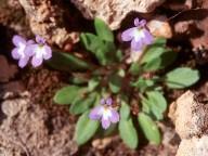 Solenopsis minuta ssp. annua