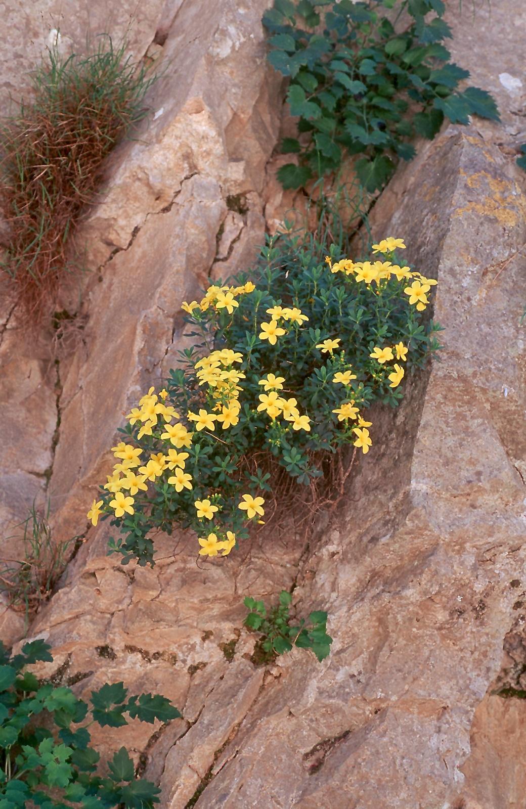 Linum arboreum