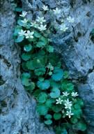 Saxifraga chrysosplenifolia