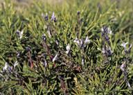 Polygala venulosa