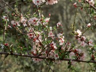 Prunus webbii