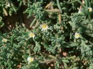 Mesembryanthemum nodiflorum