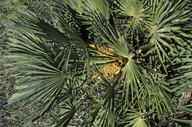Chamaerops humilis