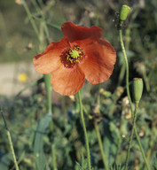Papaver pinnatifidum