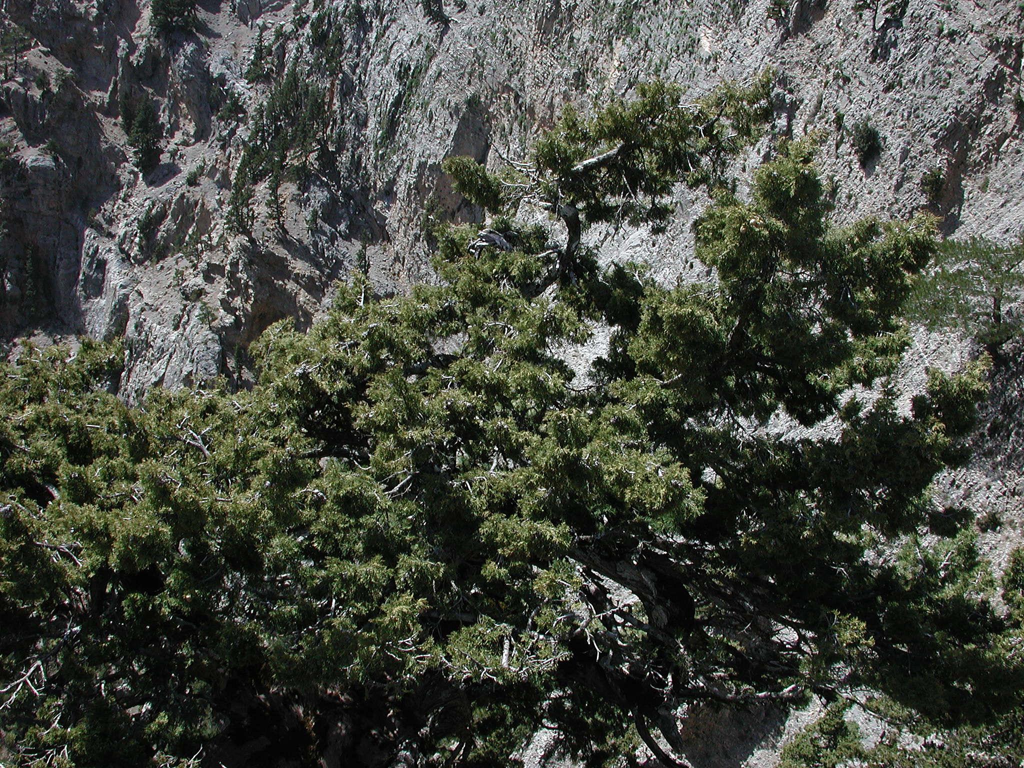 Cupressus sempervirens ssp. horisontalis