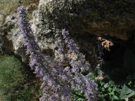 Petromarula pinnatifida