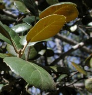 Quercus alnifolia