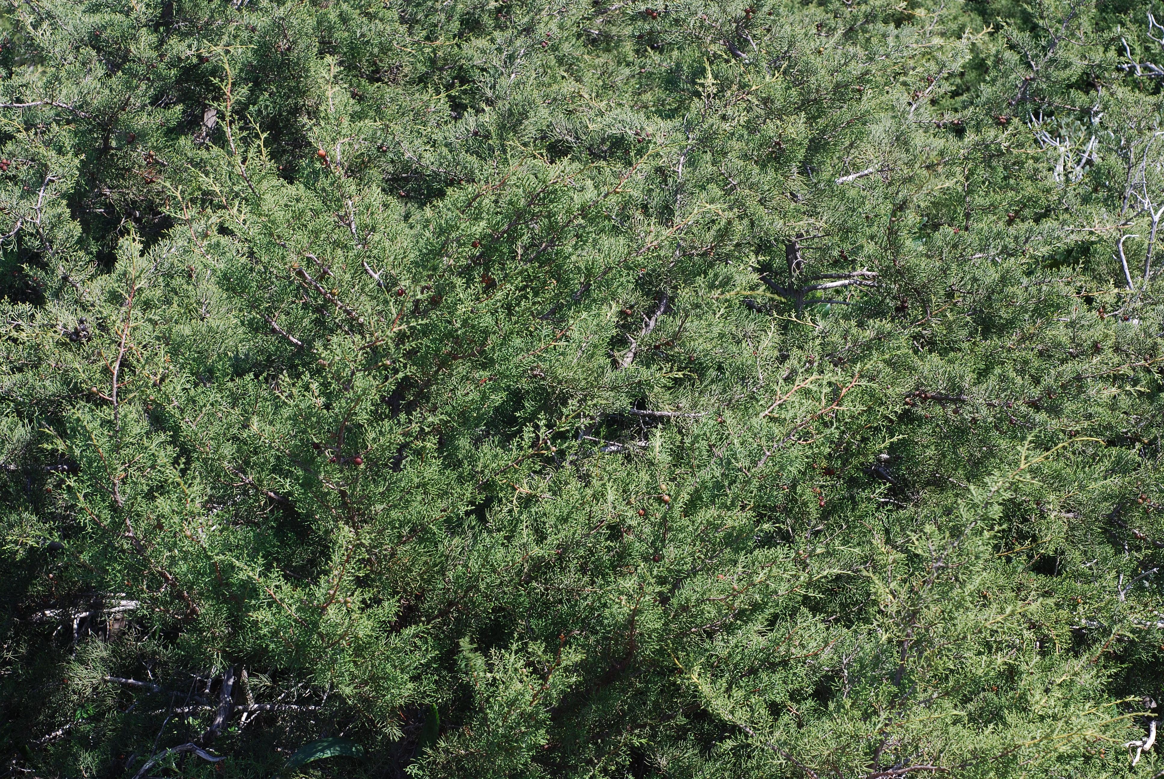 Juniperus turbinata