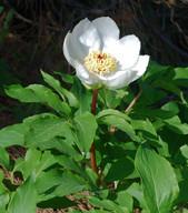 Paeonia clusii ssp. rhodia