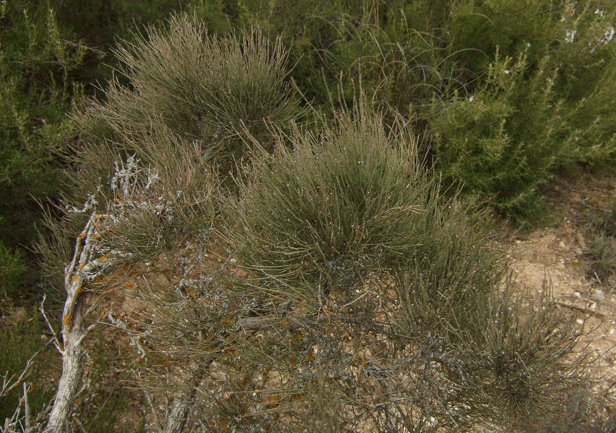 Ephedra scoparius