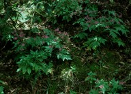 Geranium canariense