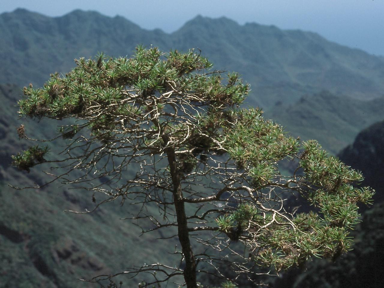 Plantago arborescens