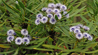 Globularia salicina