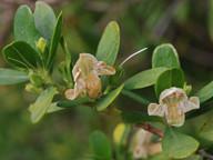Justicia hyssopifolia