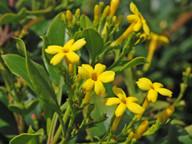 Jasminum odoratissimum