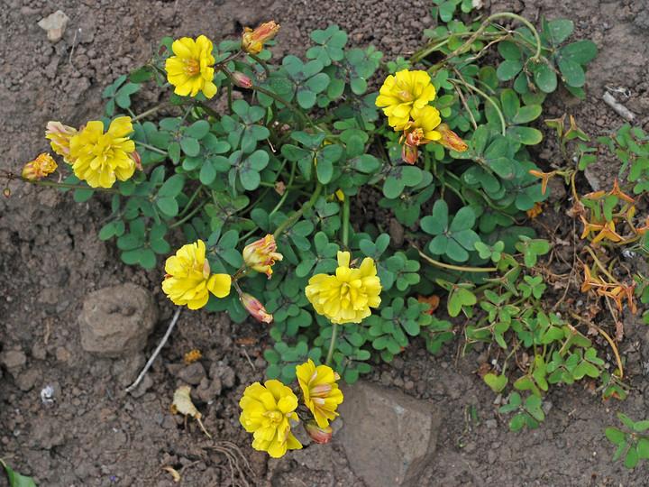 Oxalis pes-caprae var. pleniflora
