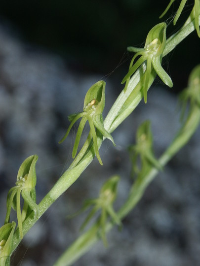 Habenaria tridactylites