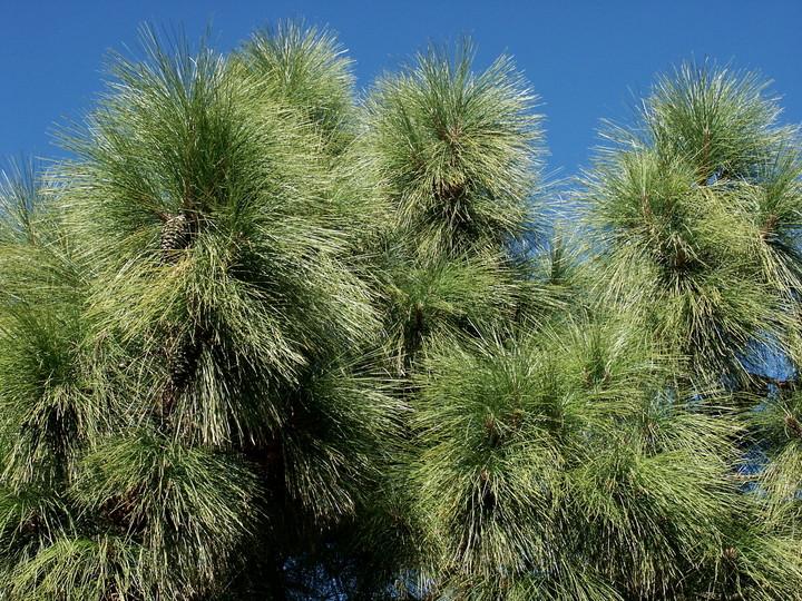 Pinus canariensis