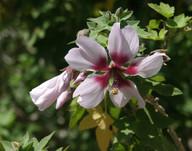 Lavatera acerifolia