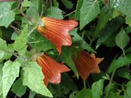 Canarina canariensis