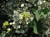 Bryonia verrucosa