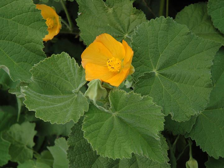 Abutilon grandifolium