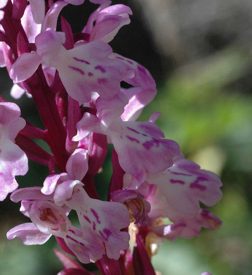 Orchis canariensis