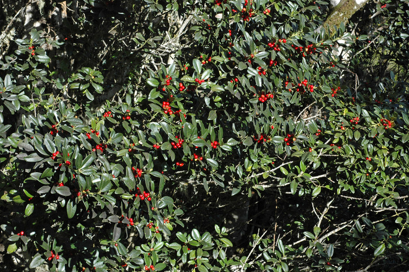 Ilex canariensis