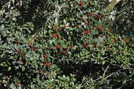 Ilex canariensis
