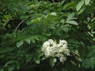 Sambucus palmensis