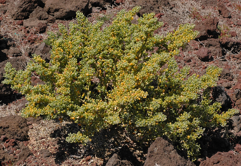 Zygophyllum fontanesii