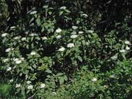 Viburnum rigidum