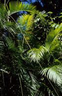 Smilax australis