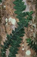 Rhaphidophora pachyphylla