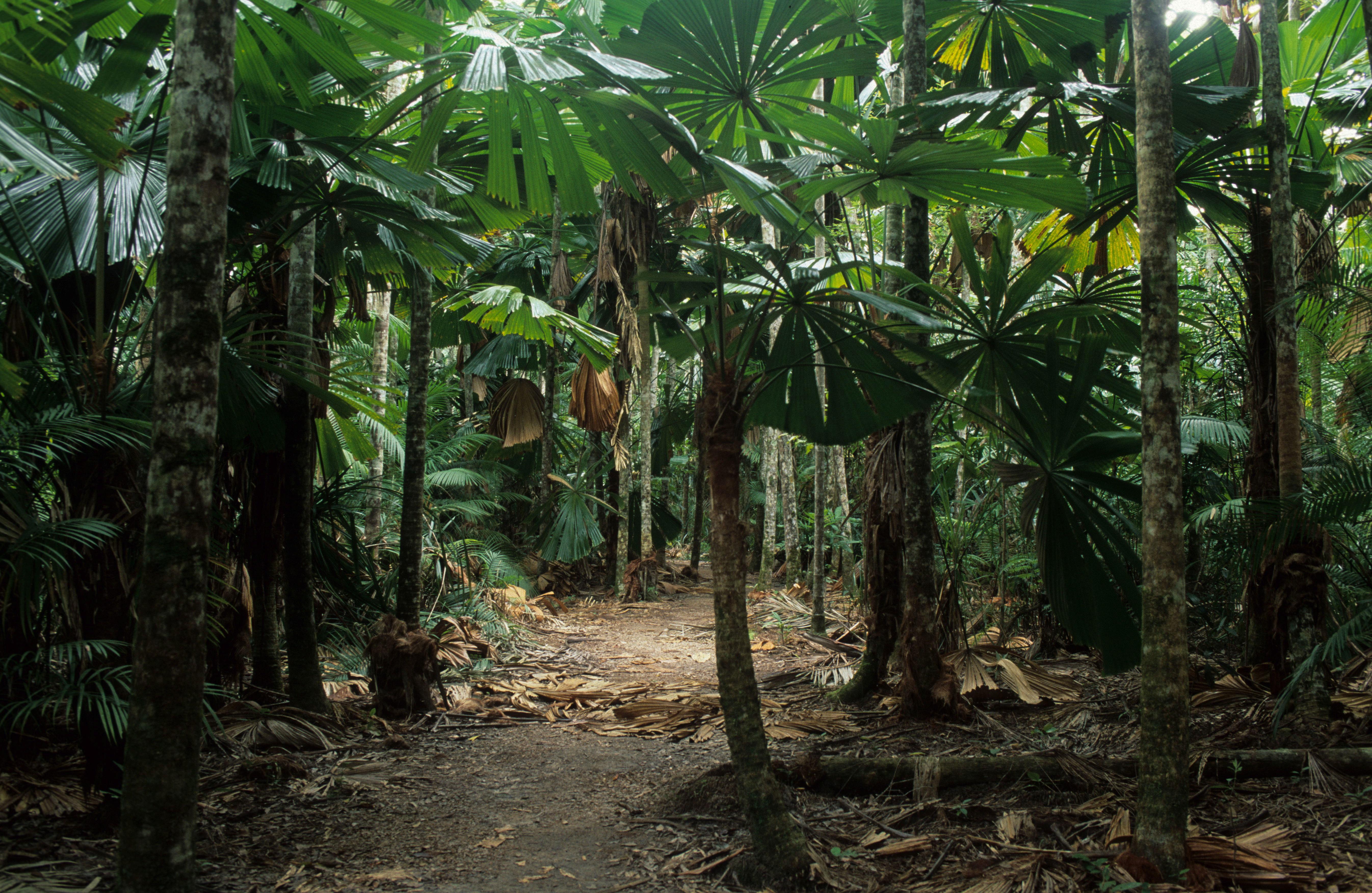 Licuala ramsayi
