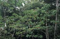 Homalanthus populiflorus