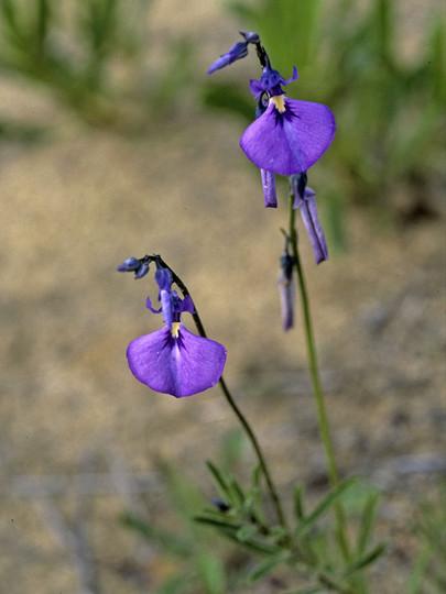 Hybanthus calycinus