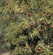 Santalum acuminatum