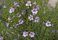Hemiandra sp.