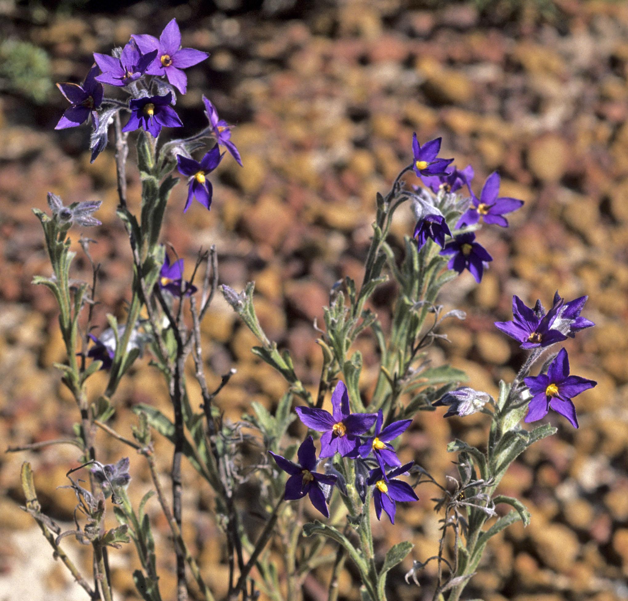 Halgania sericiflora