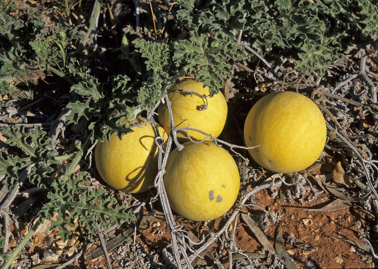 Citrullus colocynthis