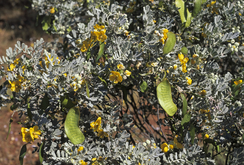 Cassia helmsii