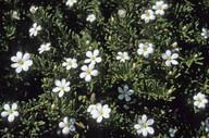 Ricinocarpus tuberculatus