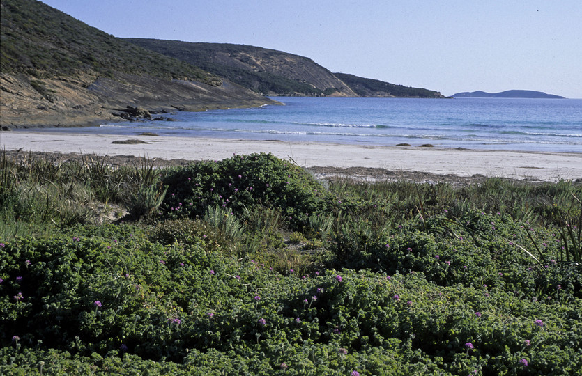 Pelargonium littorale