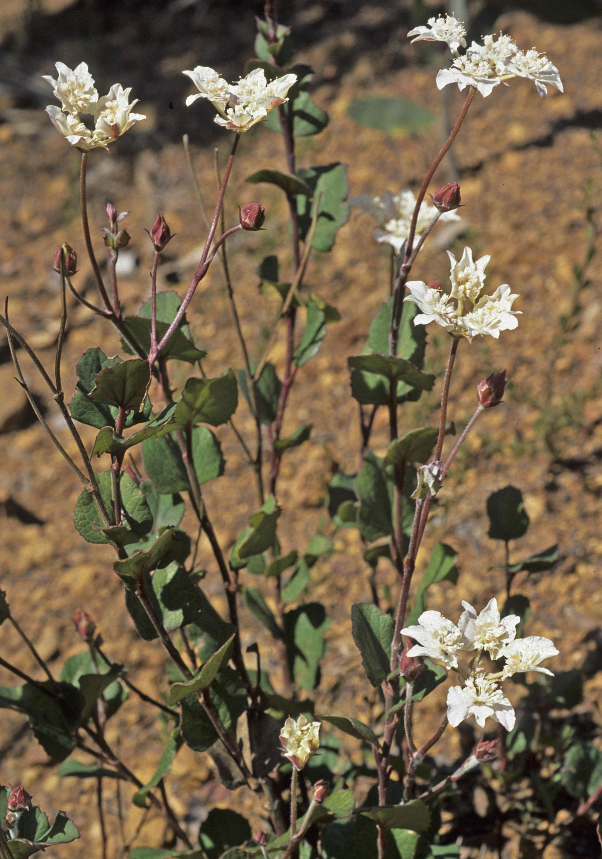 Xanthosia rotundifolia