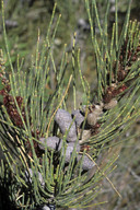 Allocasuarina sp.