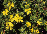 Hibbertia sp.