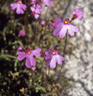 Utricularia multifida